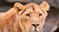 lion face predator big cat 4k 1542242649 200x110 - lion, face, predator, big cat 4k - Predator, Lion, Face