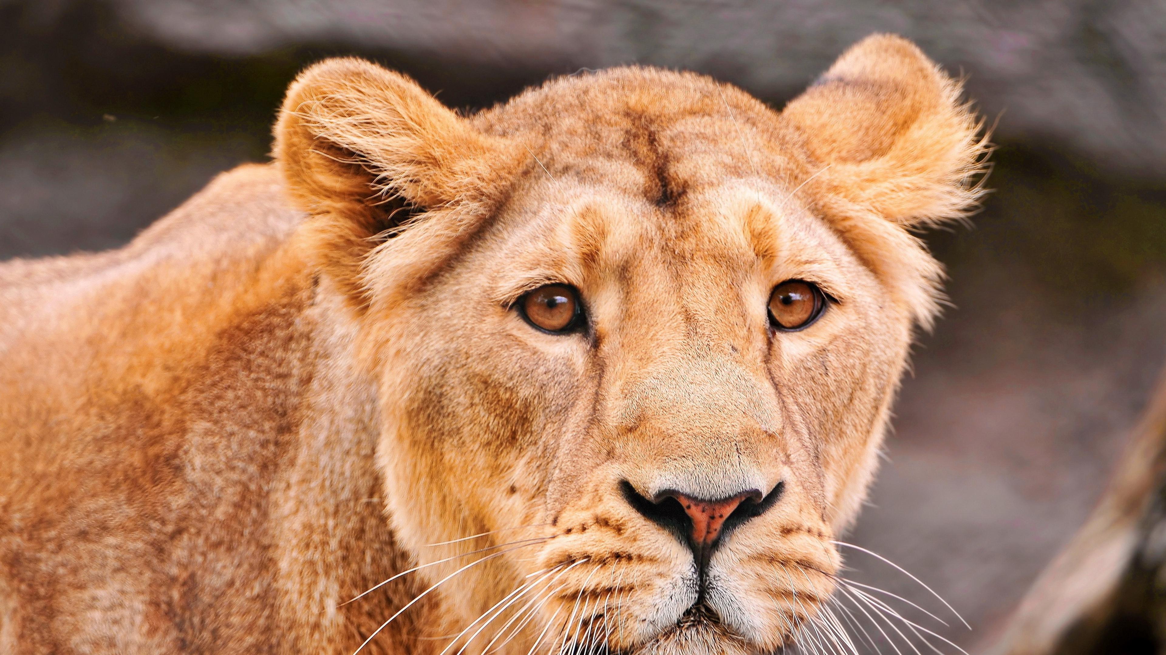 lion face predator big cat 4k 1542242649 - lion, face, predator, big cat 4k - Predator, Lion, Face
