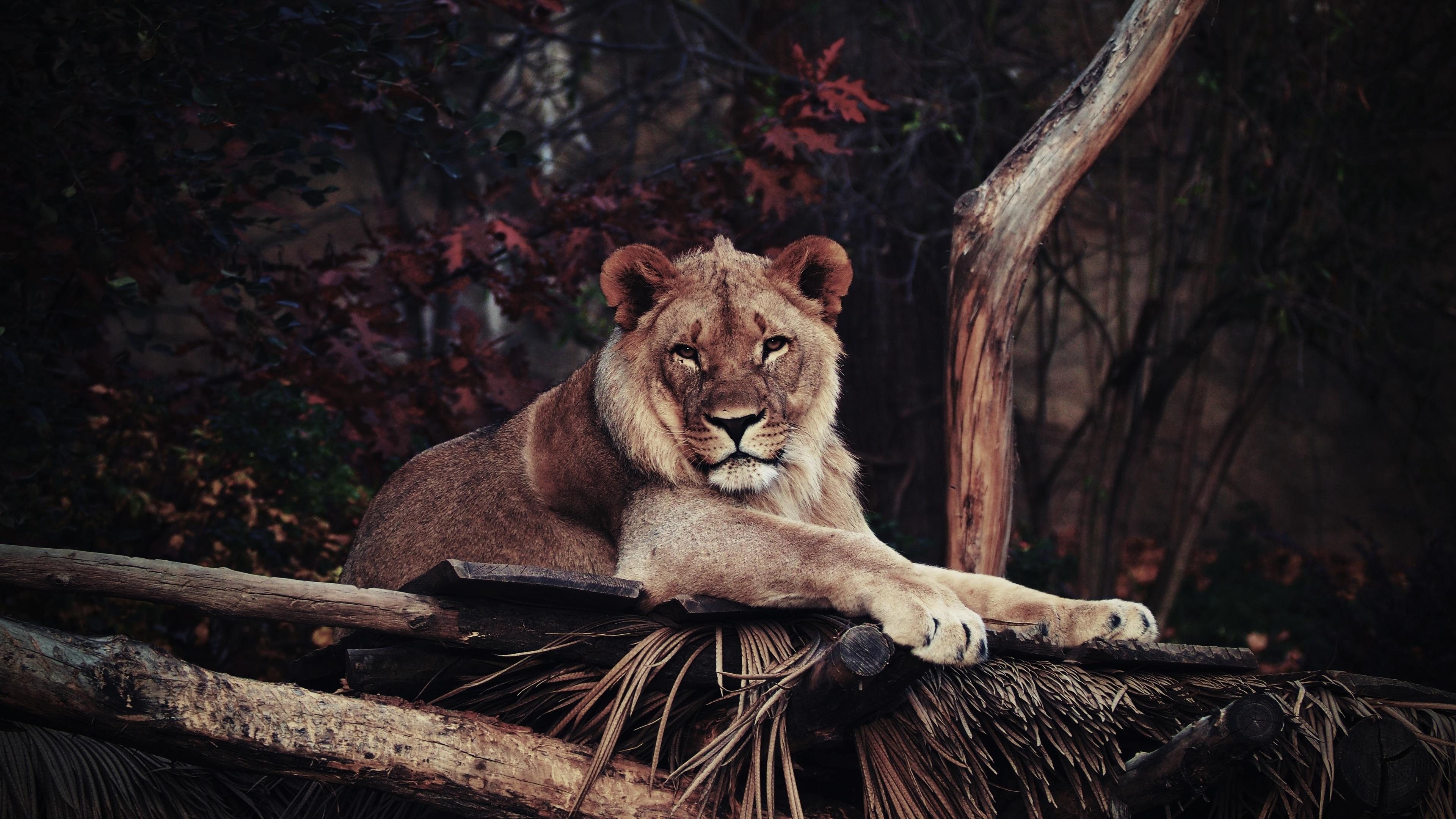 lion in zoo 4k 1542238887 - Lion In Zoo 4k - lion wallpapers, hd-wallpapers, animals wallpapers, 4k-wallpapers