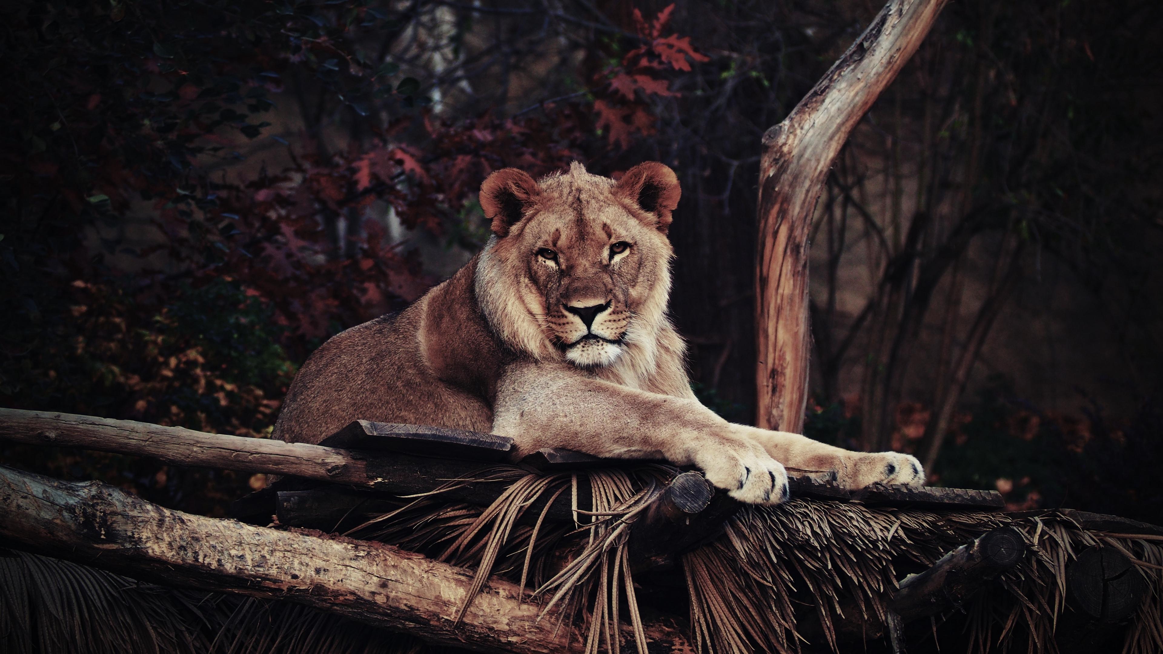 lion predator lying king of beasts 4k 1542241960 - lion, predator, lying, king of beasts 4k - Predator, Lying, Lion
