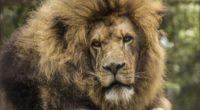 lion predator mane look muzzle 4k 1542242502 200x110 - lion, predator, mane, look, muzzle 4k - Predator, mane, Lion