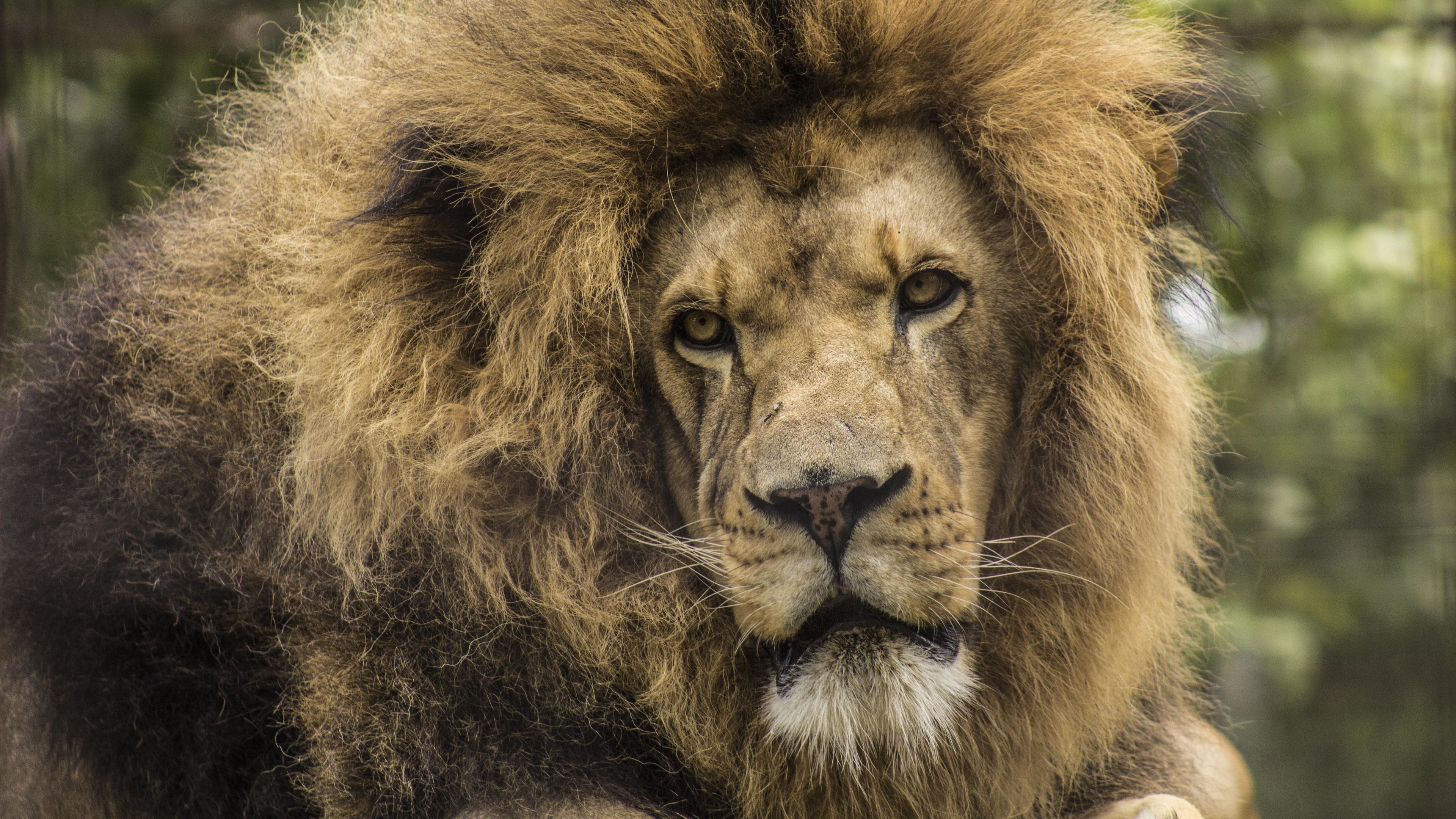 lion predator mane look muzzle 4k 1542242502 - lion, predator, mane, look, muzzle 4k - Predator, mane, Lion