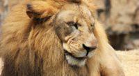 lion predator muzzle mane 4k 1542242492 200x110 - lion, predator, muzzle, mane 4k - Predator, muzzle, Lion