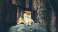 lion sitting on rock 4k 1542239647 200x110 - Lion Sitting On Rock 4k - lioness wallpapers, lion wallpapers, hd-wallpapers, animals wallpapers, 4k-wallpapers