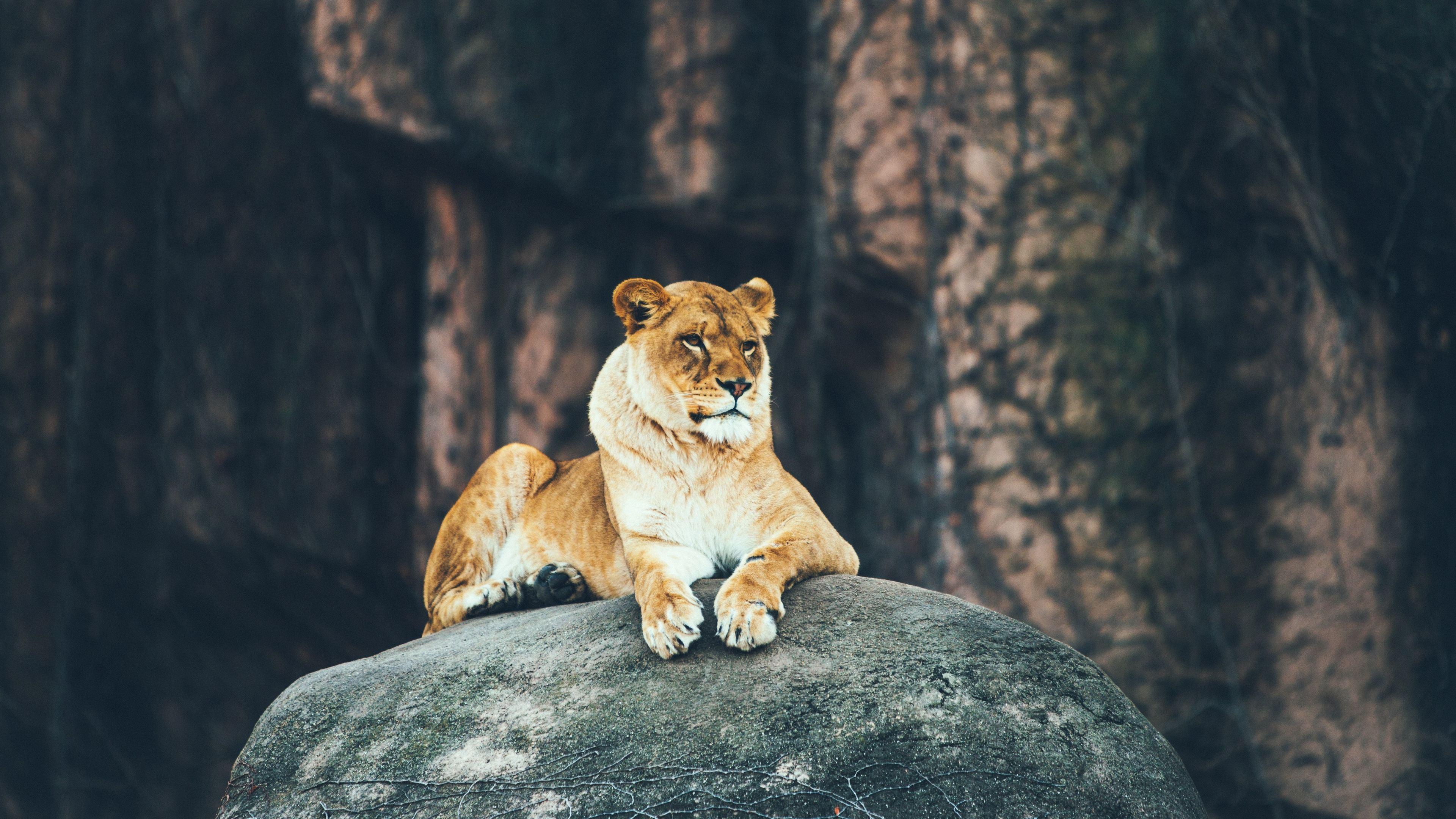 lion sitting on rock 4k 1542239647 - Lion Sitting On Rock 4k - lioness wallpapers, lion wallpapers, hd-wallpapers, animals wallpapers, 4k-wallpapers
