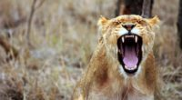 lioness predator 4k 1542238069 200x110 - Lioness Predator 4k - predator wallpapers, lion wallpapers, king wallpapers, forest wallpapers, animals wallpapers