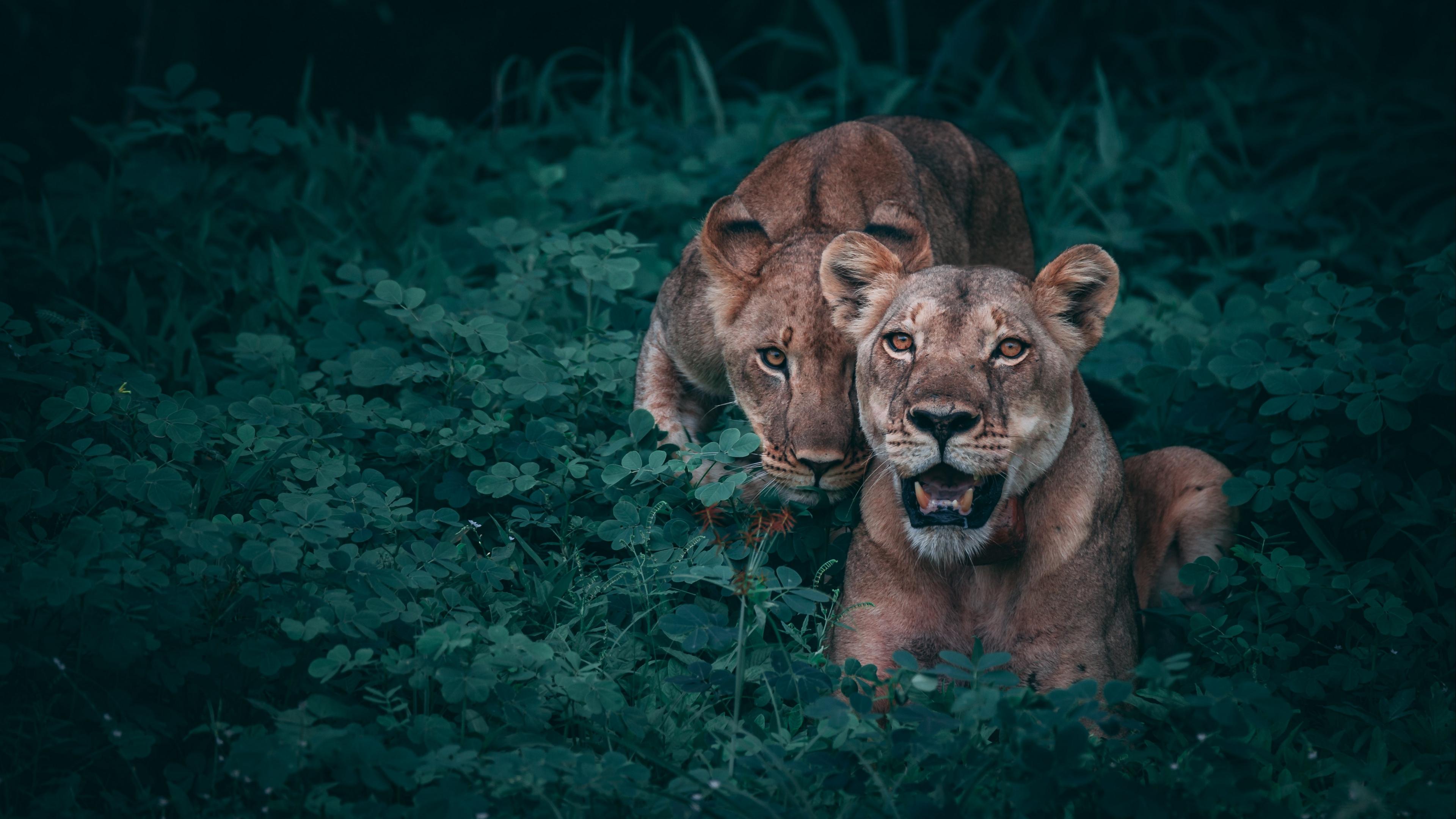 lionesses predators grass 4k 1542242778 - lionesses, predators, grass 4k - predators, lionesses, Grass