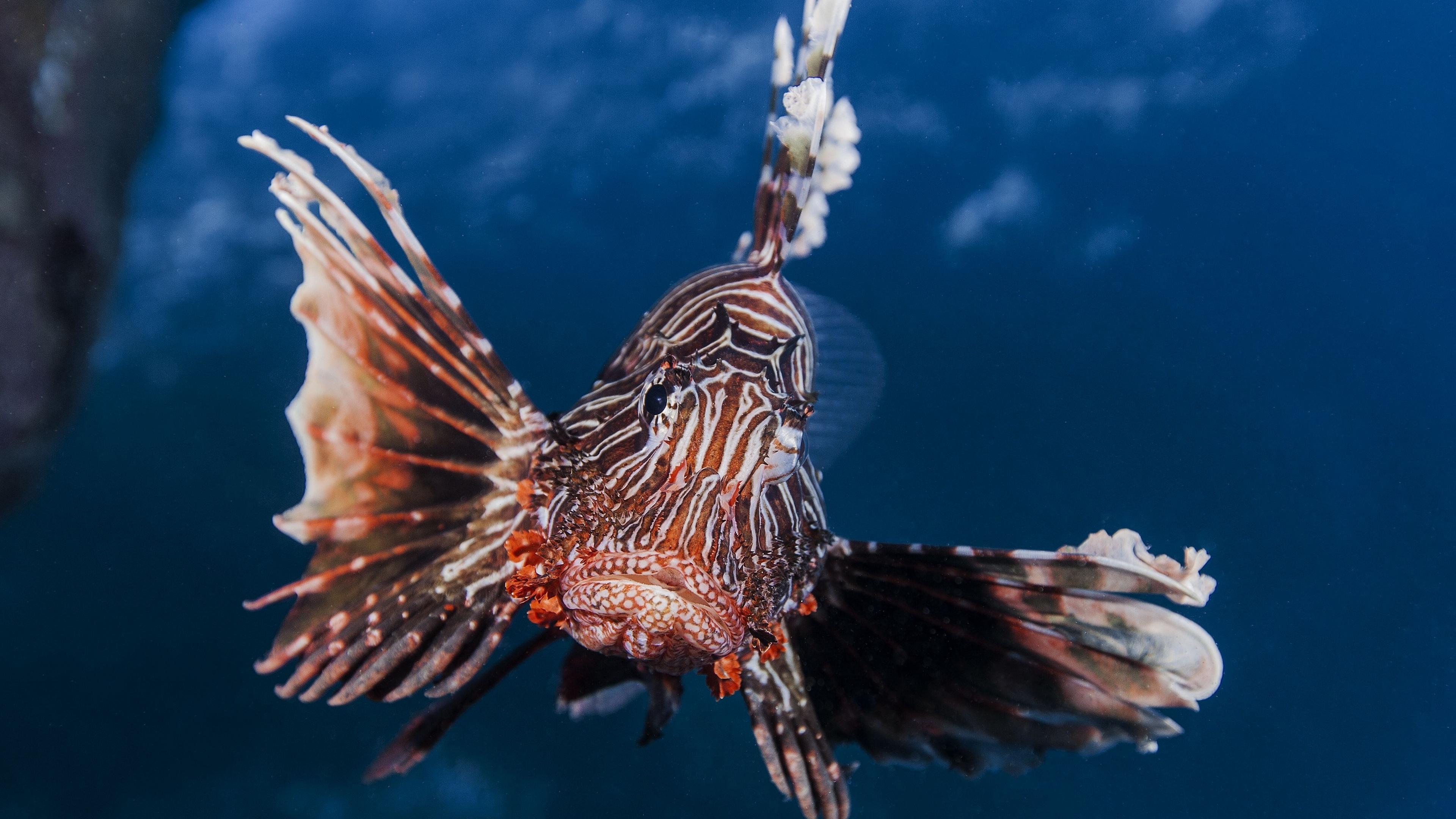 lionfish striped lionfish zebra fish broadbarred firefish 4k 1542241792 - lionfish, striped lionfish, zebra fish, broadbarred firefish 4k - zebra fish, striped lionfish, lionfish