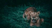 lions wildlife 4k 1542238769 200x110 - Lions Wildlife 4k - lion wallpapers, hd-wallpapers, animals wallpapers, 4k-wallpapers