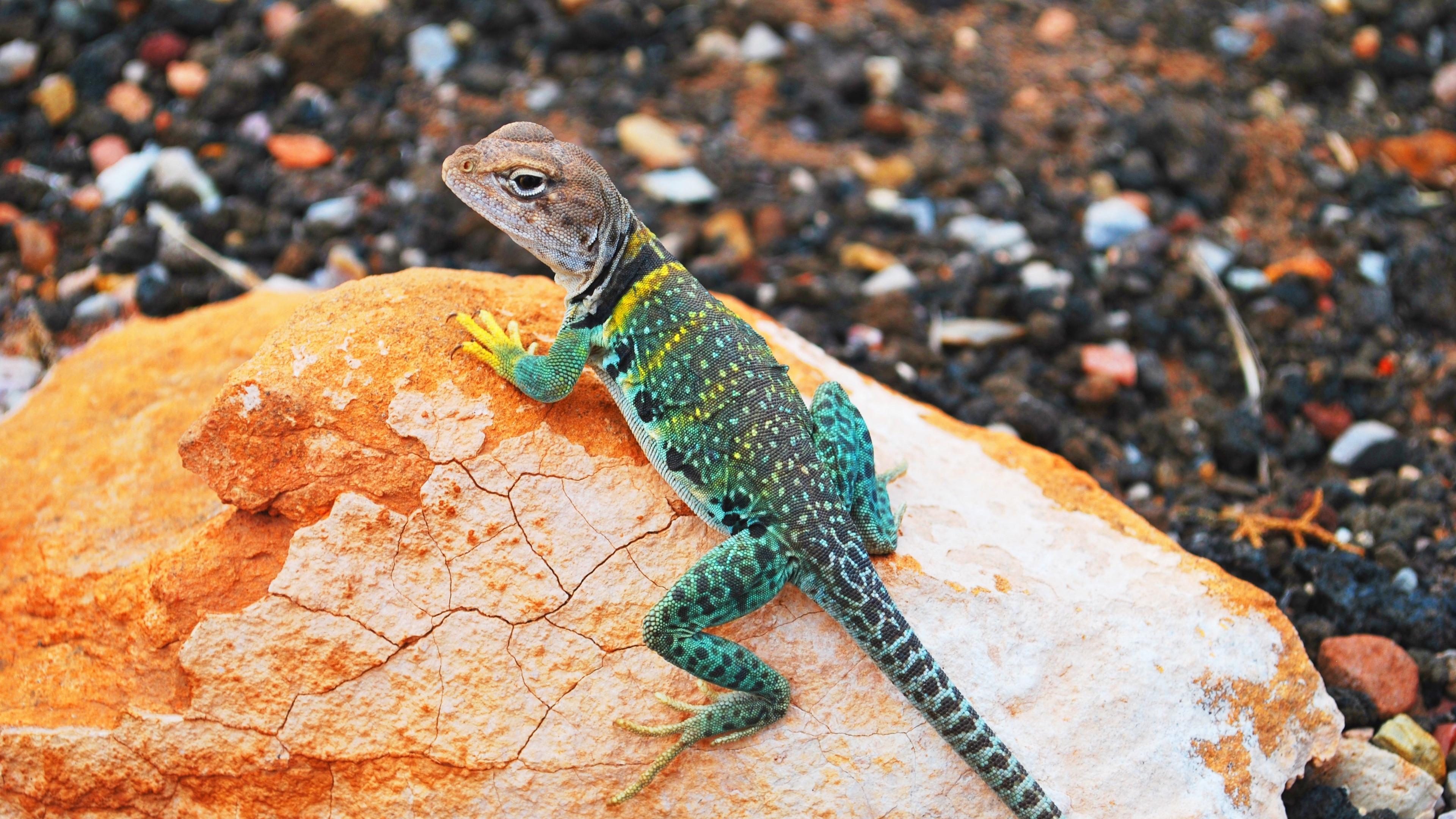 lizard gecko stones 4k 1542242742 - lizard, gecko, stones 4k - Stones, Lizard, gecko