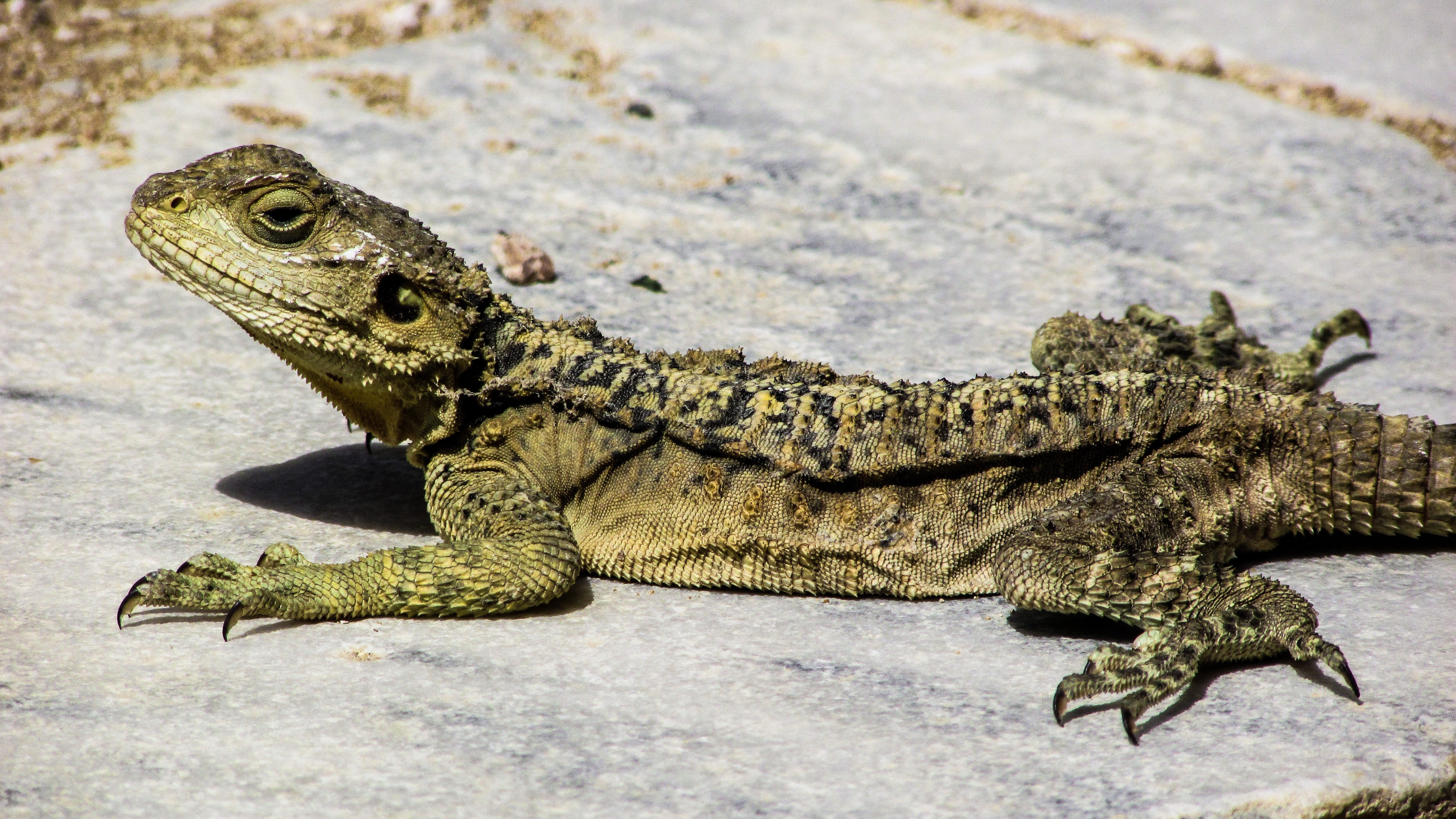 lizard reptile cyprus 4k 1542242921 - lizard, reptile, cyprus 4k - reptile, Lizard, cyprus