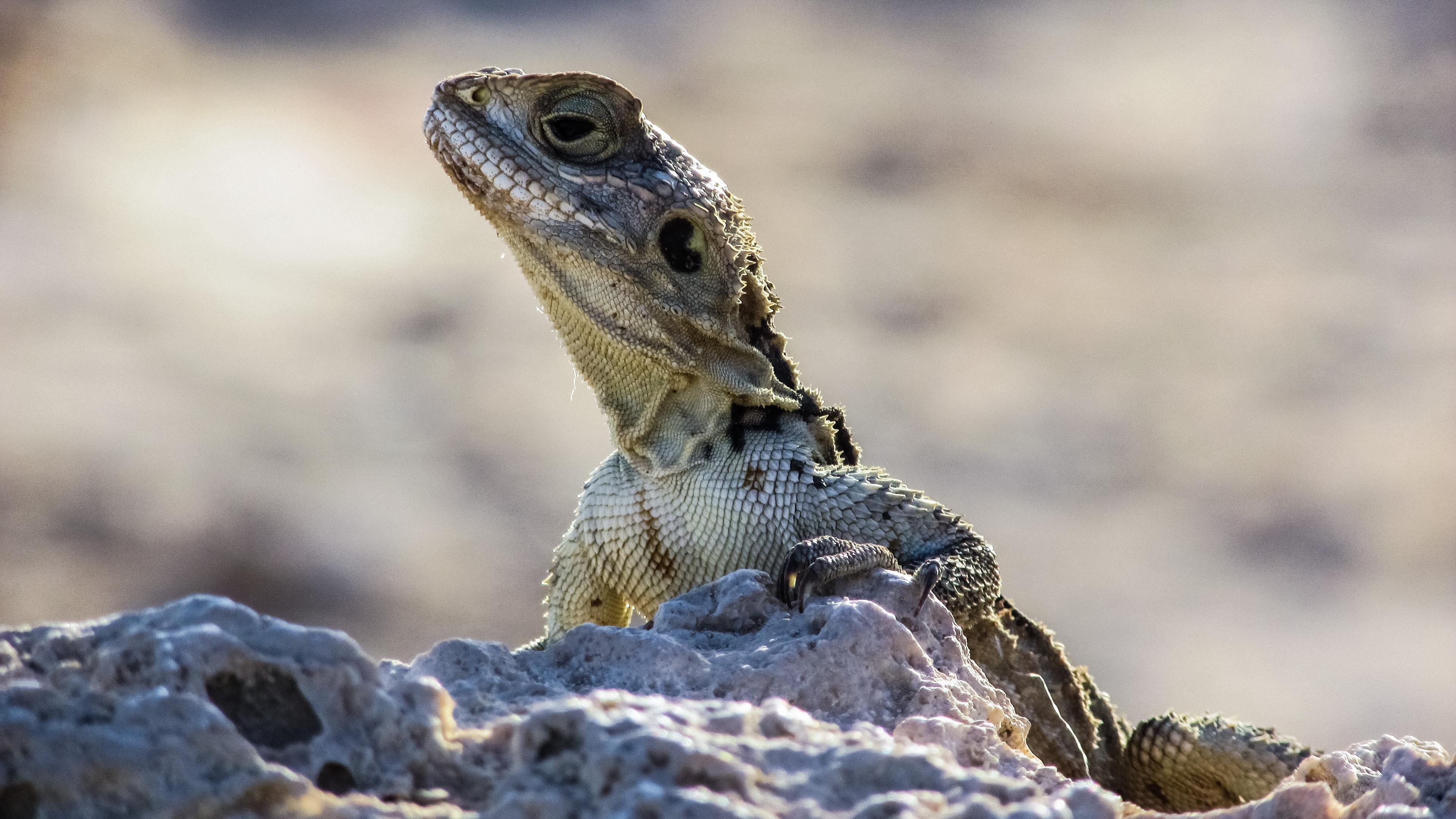 lizard reptile head stones 4k 1542242726 - lizard, reptile, head, stones 4k - reptile, Lizard, Head