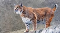 lynx big cat 4k 1542238174 200x110 - Lynx Big Cat 4k - predator wallpapers, lynx wallpapers, cat wallpapers, animals wallpapers