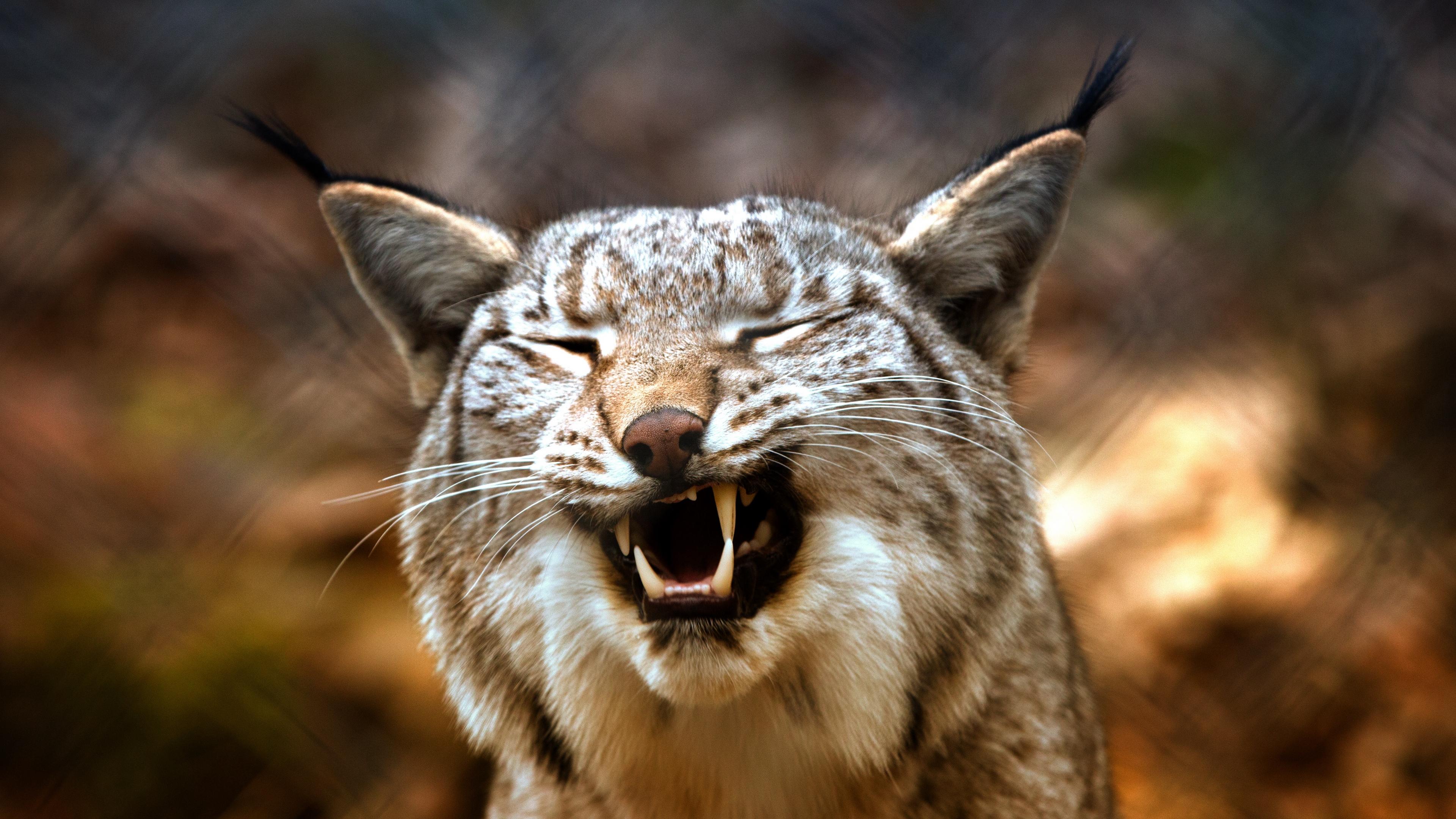 lynx predator grin 4k 1542242498 - lynx, predator, grin 4k - Predator, Lynx, grin