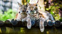 lynx predator large cat 4k 1542242775 200x110 - lynx, predator, large cat 4k - Predator, Lynx, large cat