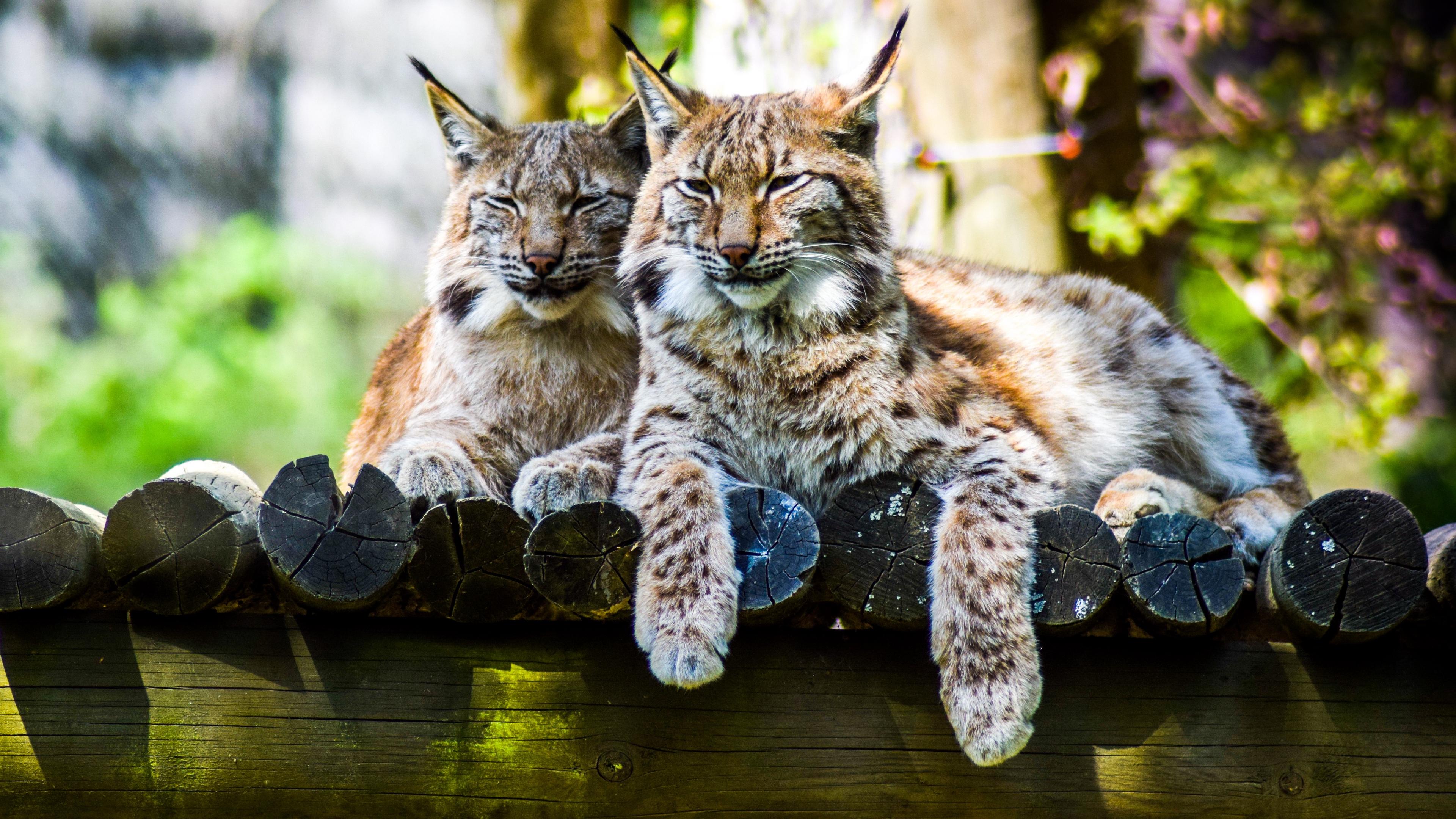 lynx predator large cat 4k 1542242775 - lynx, predator, large cat 4k - Predator, Lynx, large cat