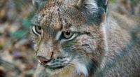 lynx predator wild cat 4k 1542241359 200x110 - lynx, predator, wild cat 4k - wild cat, Predator, Lynx