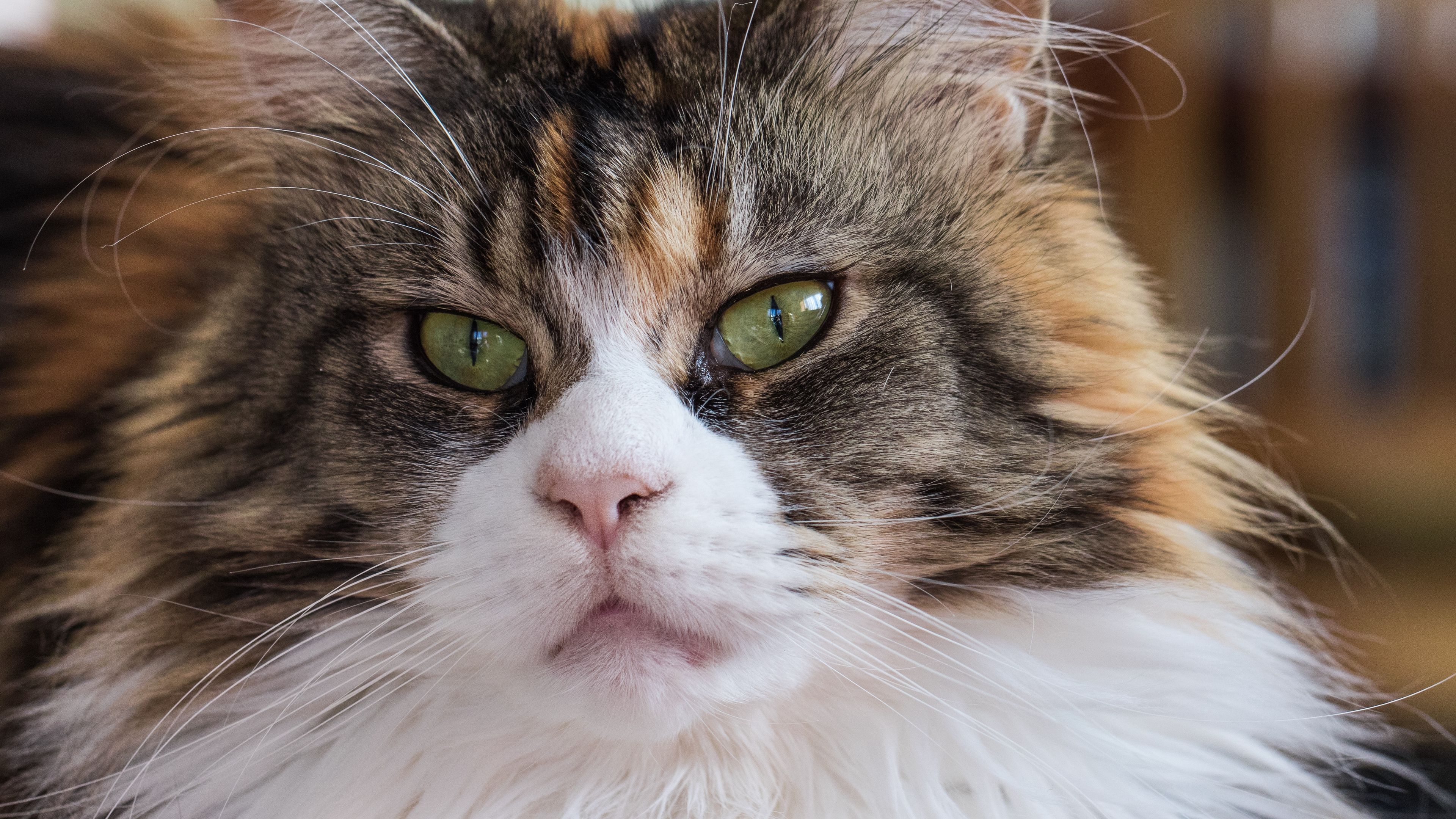 maine coon cat muzzle fluffy 4k 1542242592 - maine coon, cat, muzzle, fluffy 4k - muzzle, maine coon, Cat