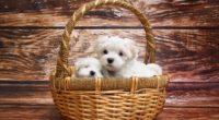 maltese dog breed 4k 1542238066 200x110 - Maltese Dog Breed 4k - maltese wallpapers, dog wallpapers, animals wallpapers