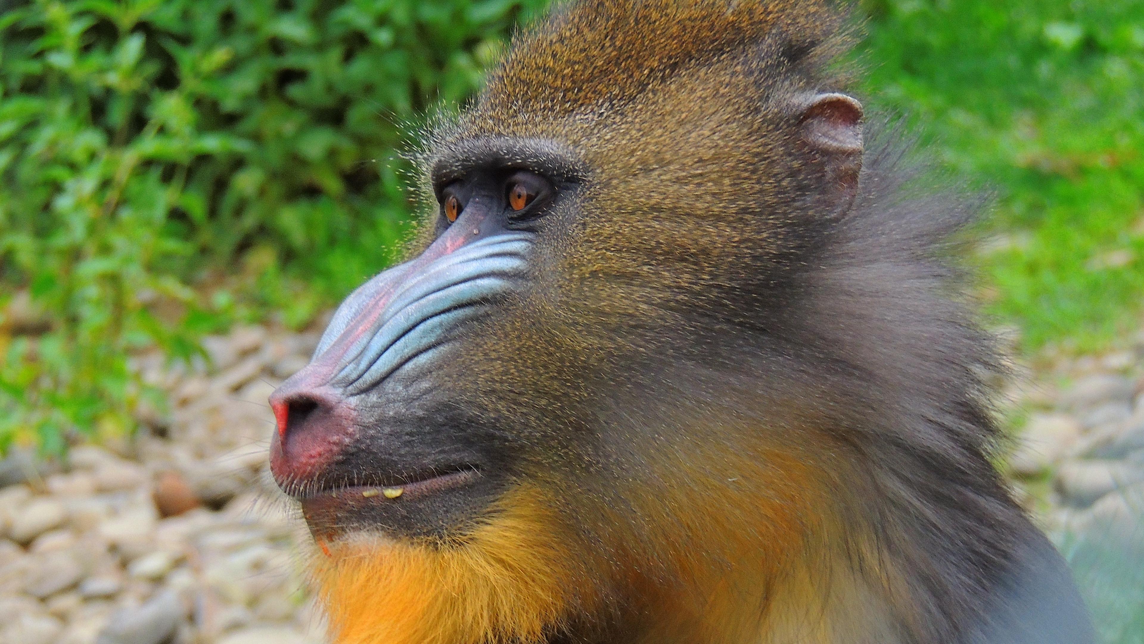 mandrill monkey muzzle fur 4k 1542242937 - mandrill, monkey, muzzle, fur 4k - muzzle, Monkey, mandrill