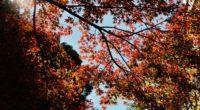 maple autumn trees branches 4k 1541117254 200x110 - maple, autumn, trees, branches 4k - Trees, Maple, Autumn