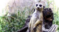 meerkat posing funny cute 4k 1542242085 200x110 - meerkat, posing, funny, cute 4k - posing, meerkat, funny