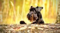 miniature schnauzer schnauzer dog muzzle 4k 1542242750 200x110 - miniature schnauzer, schnauzer, dog, muzzle 4k - schnauzer, miniature schnauzer, Dog