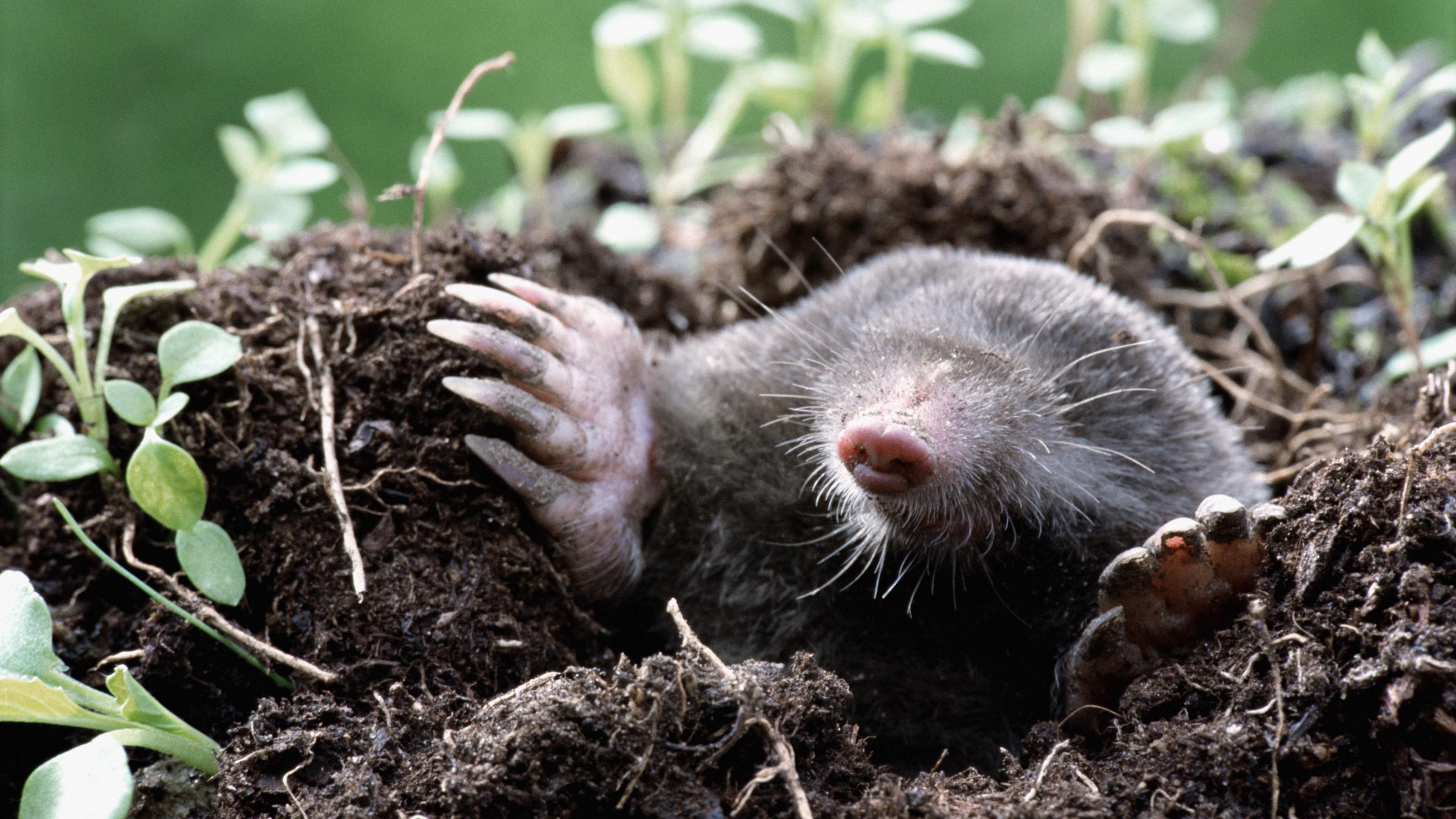 mole earth dirt grass hole 4k 1542242167 - mole, earth, dirt, grass, hole 4k - mole, Earth, Dirt