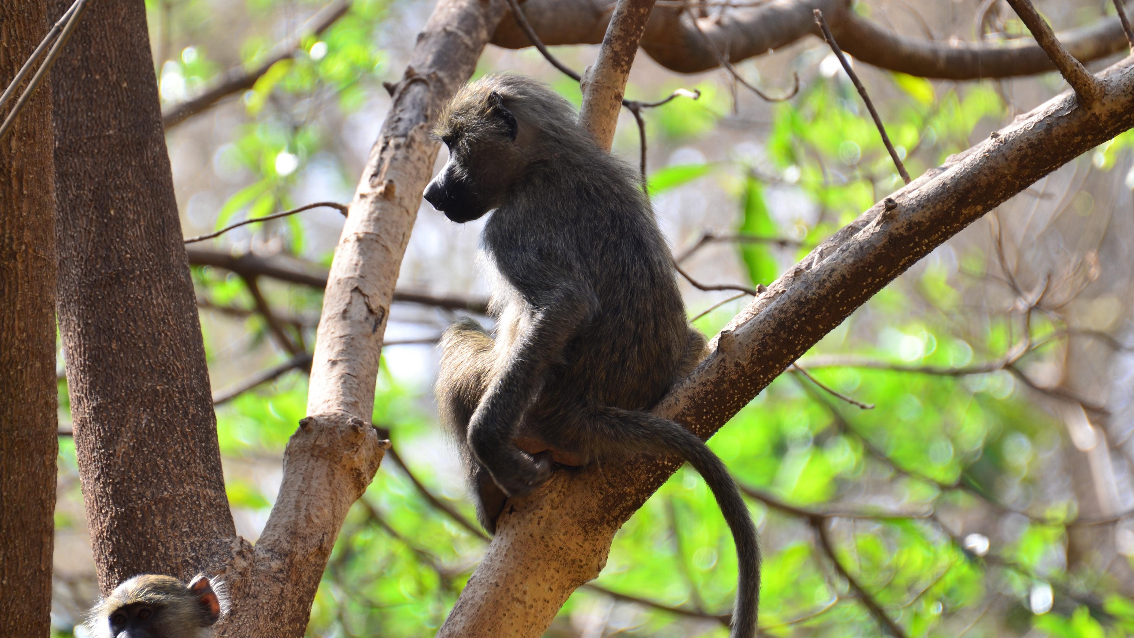monkey branch sitting 4k 1542242593 - monkey, branch, sitting 4k - Sitting, Monkey, branch