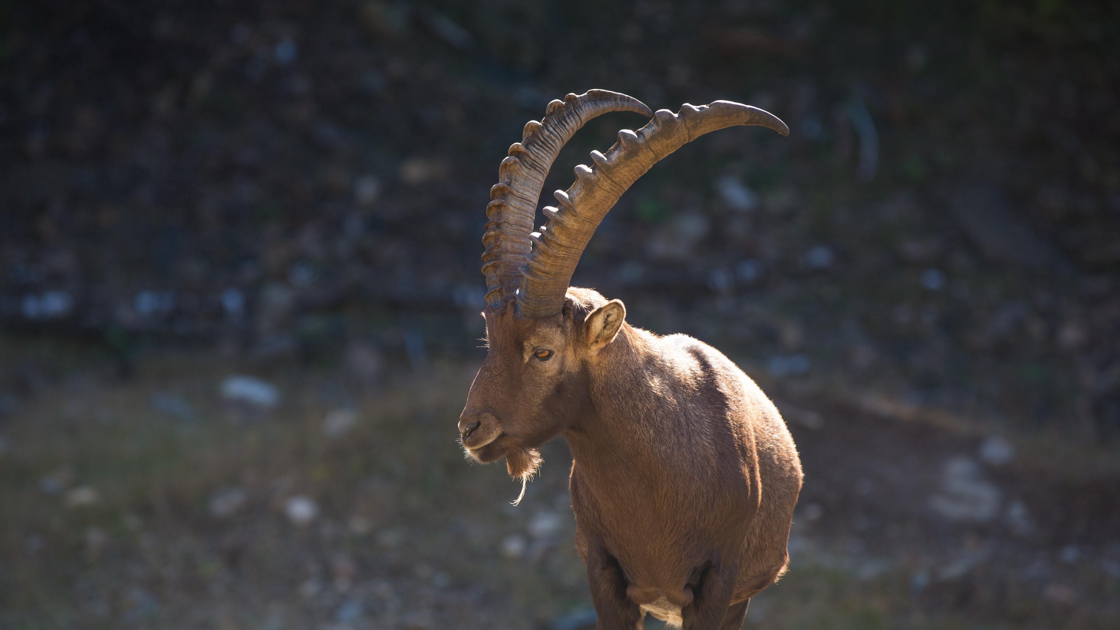 mountain goat horn alps 4k 1542242664 - mountain goat, horn, alps 4k - mountain goat, horn, Alps