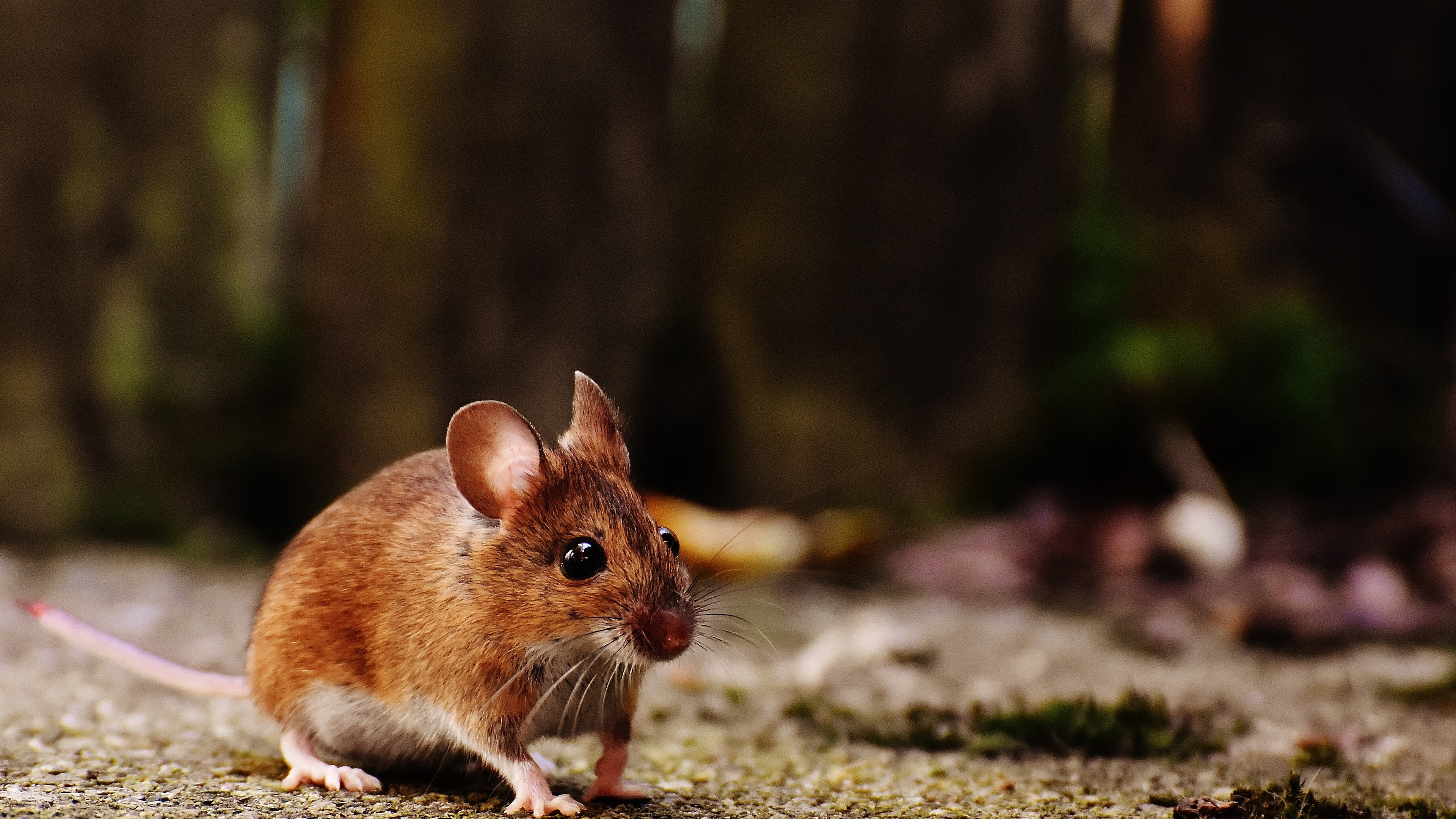mouse 4k 1542238391 - Mouse 4k - mouse wallpapers, hd-wallpapers, animals wallpapers, 4k-wallpapers