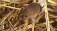 mouse mammal rodent 4k 1542241641 200x110 - mouse, mammal, rodent 4k - rodent, Mouse, mammal