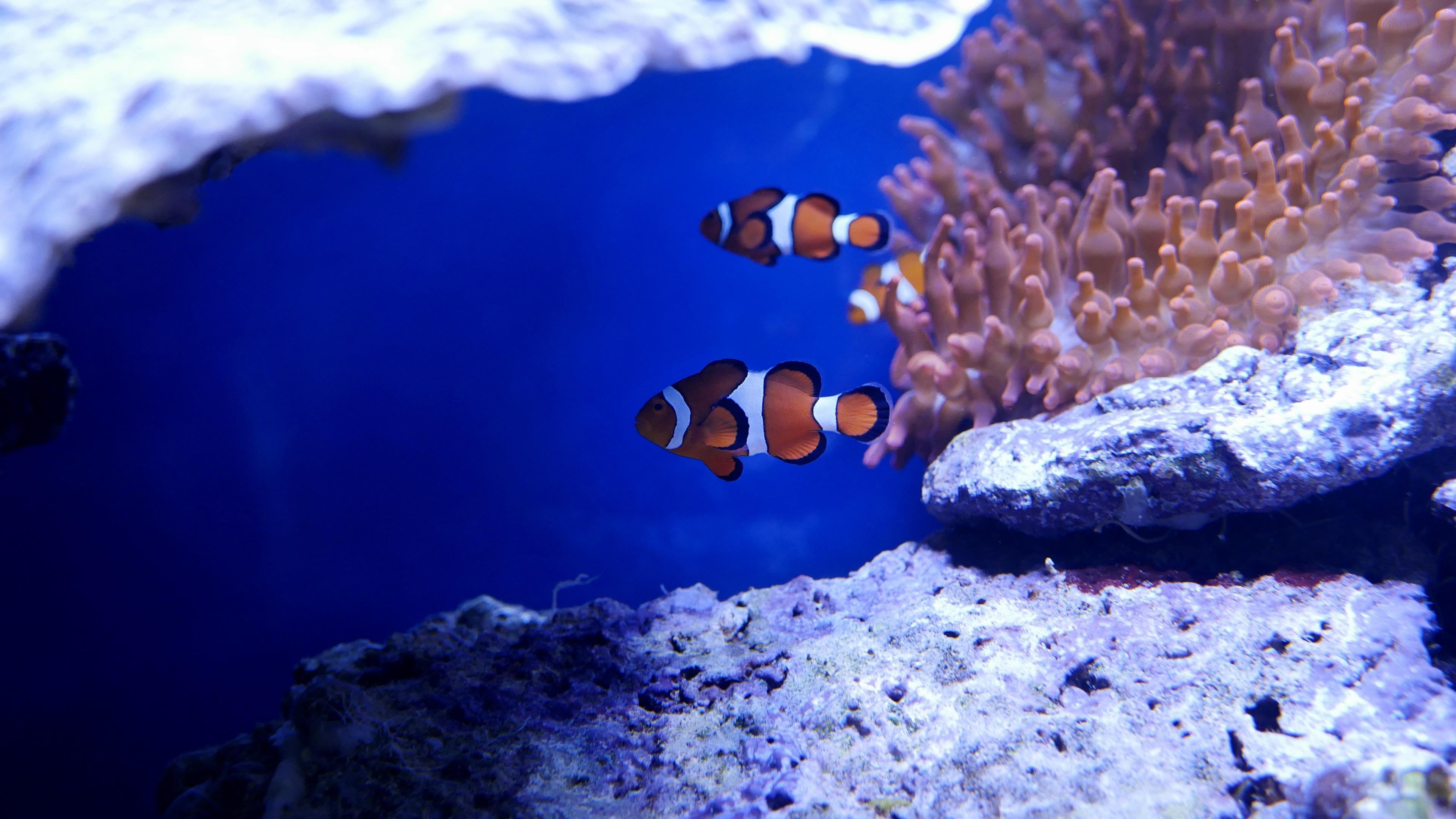 nemo fish in real underwater 4k 1542238761 - Nemo Fish In Real Underwater 4k - underwater wallpapers, sea wallpapers, ocean wallpapers, nemo wallpapers, hd-wallpapers, fish wallpapers, animals wallpapers, 4k-wallpapers