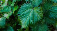 nettle leaves drops close up 4k 1541116381 200x110 - nettle, leaves, drops, close-up 4k - nettle, Leaves, Drops