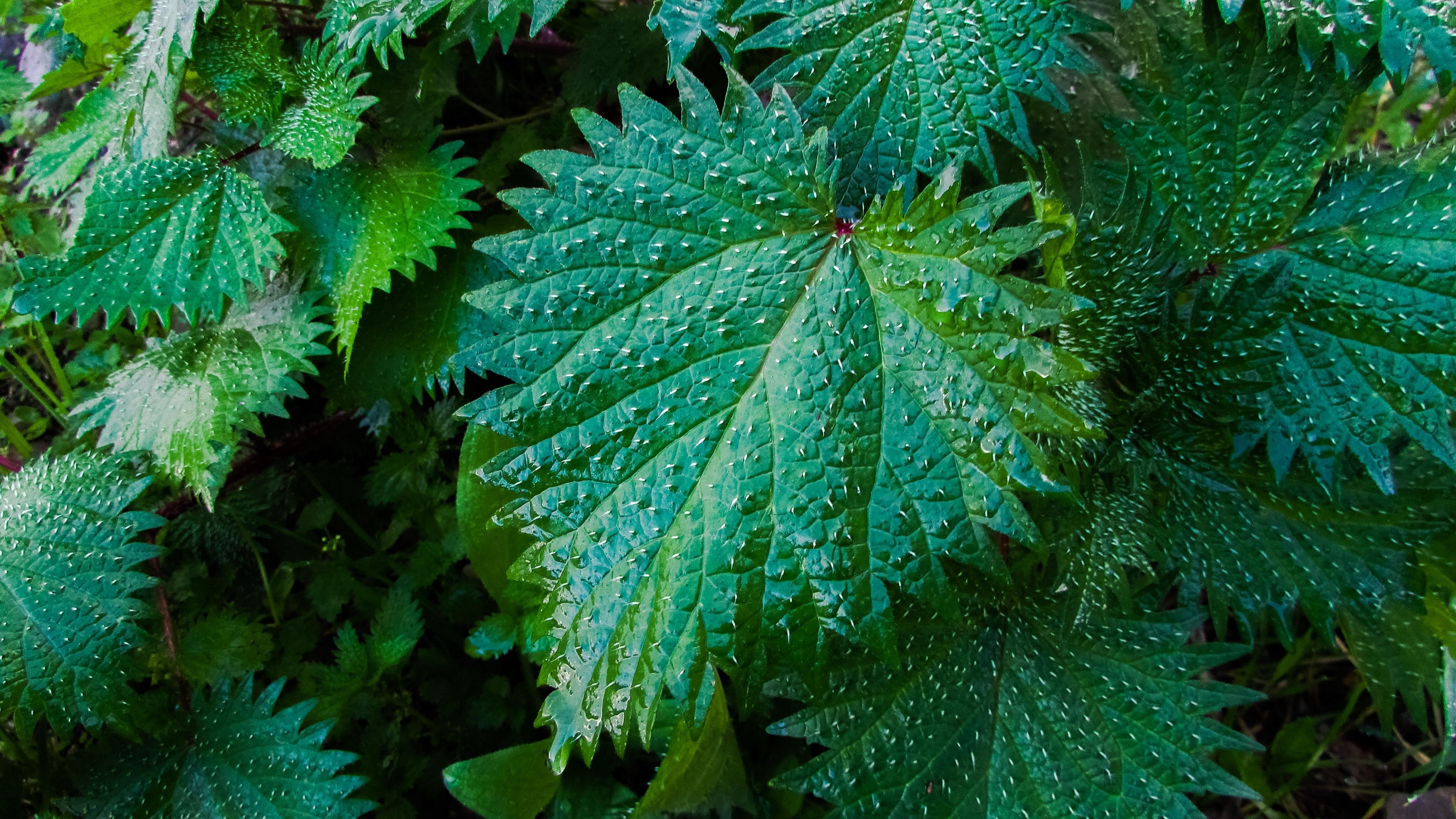 nettle leaves drops close up 4k 1541116381 - nettle, leaves, drops, close-up 4k - nettle, Leaves, Drops