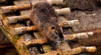 nutria dam coypu rodent 4k 1542242614 200x110 - nutria, dam, coypu, rodent 4k - nutria, dam, coypu