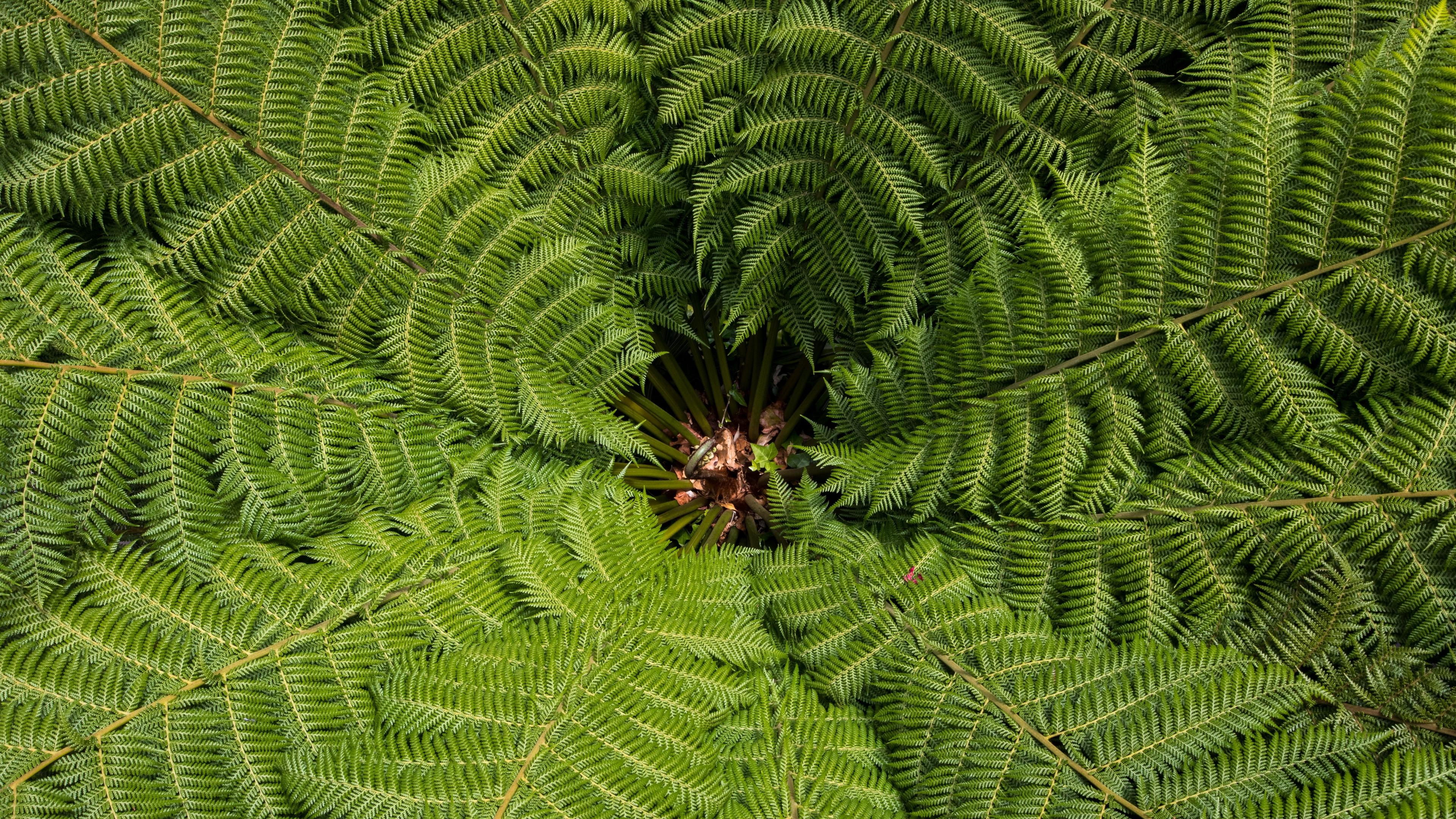 ostrich fern fern leaves carved plant green vegetation 4k 1541117196 - ostrich fern, fern, leaves, carved, plant, green, vegetation 4k - ostrich fern, Leaves, fern