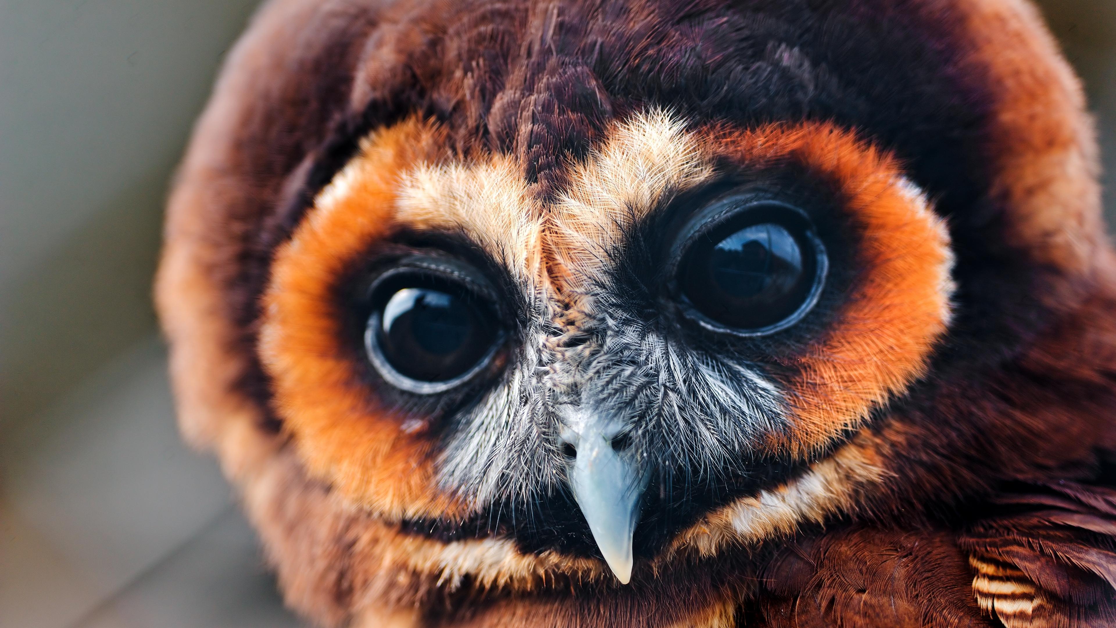 owl baby muzzle eyes feathers 4k 1542242557 - owl, baby, muzzle, eyes, feathers 4k - Owl, muzzle, Baby