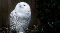 owl bird predator 4k 1542241881 200x110 - owl, bird, predator 4k - Predator, Owl, Bird