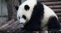panda bear sits 4k 1542241529 200x110 - panda, bear, sits 4k - sits, Panda, Bear