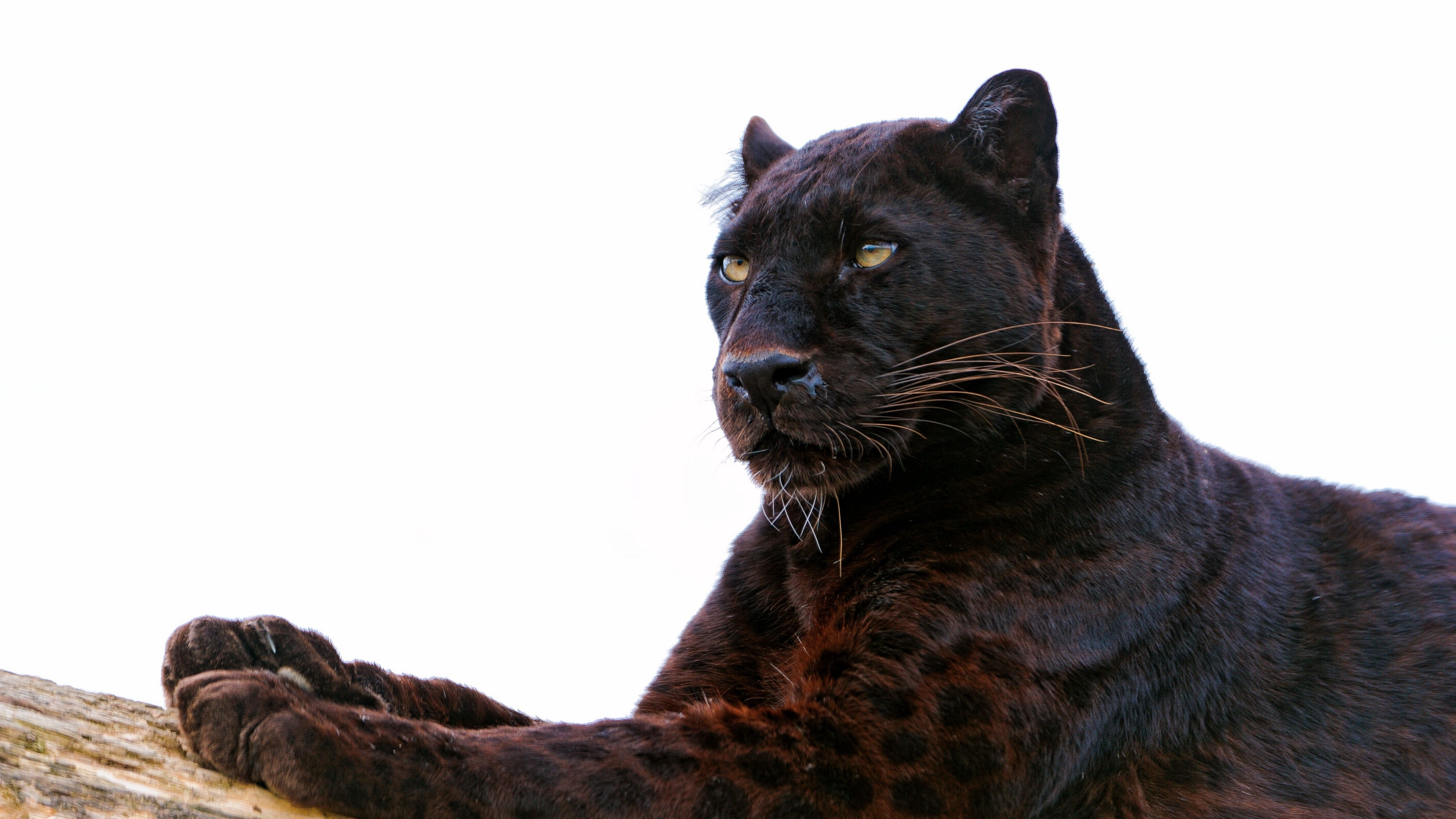 Wallpaper 4k Panther Paw Lie Down Predator Big Cat 4k Lie Down Panther Paw
