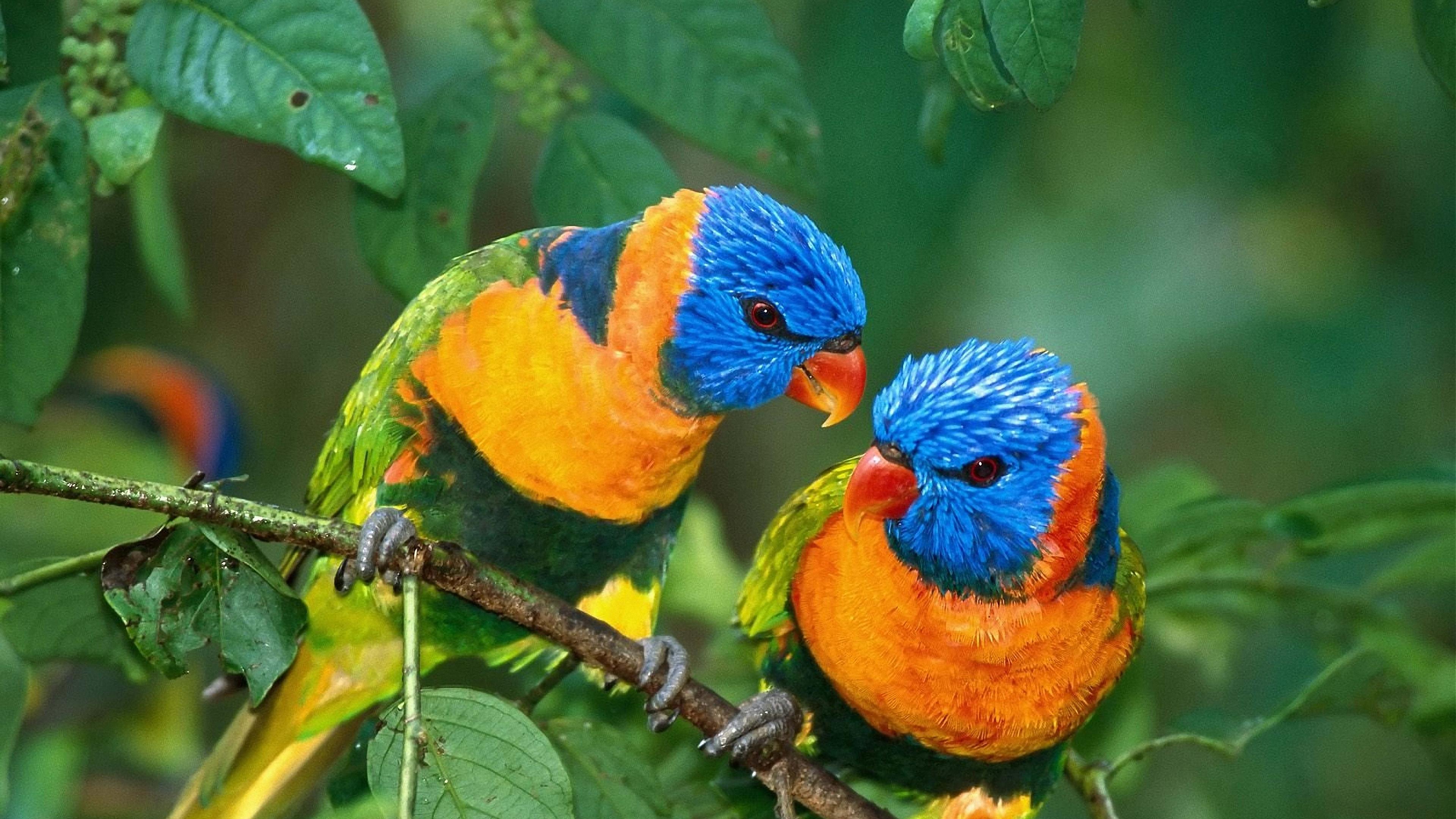 parrot love branch 4k 1542242815 - parrot, love, branch 4k - Parrot, Love, branch