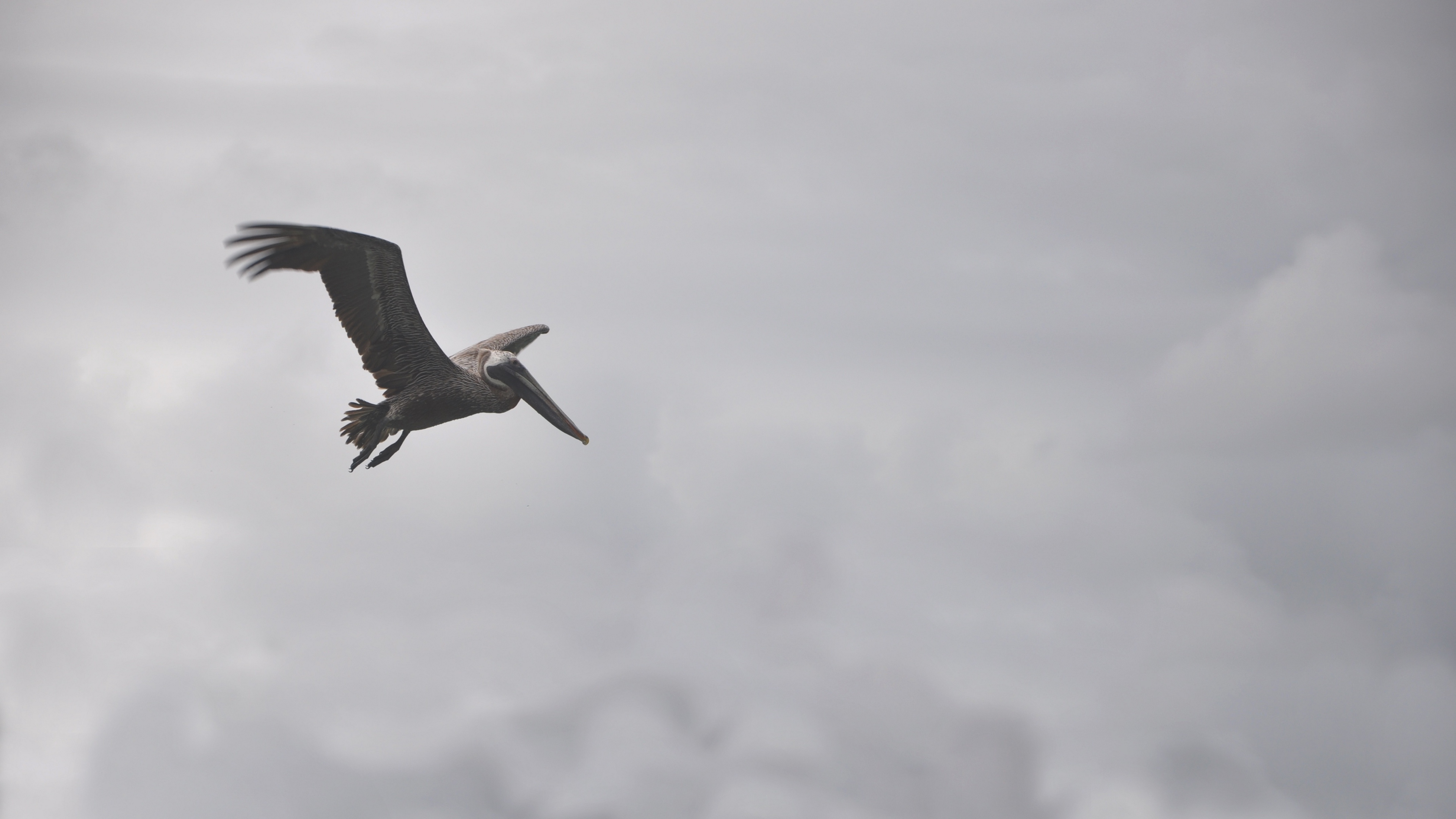 pelican bird flight clouds 4k 1542242925 - pelican, bird, flight, clouds 4k - Pelican, Flight, Bird