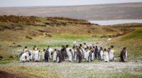 penguins flock grass shore 4k 1542243058 200x110 - penguins, flock, grass, shore 4k - Penguins, Grass, flock