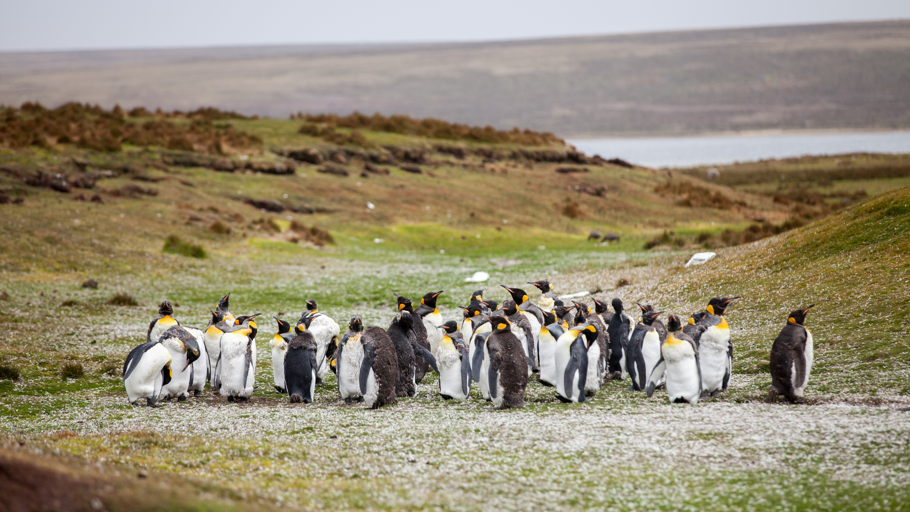 penguins flock grass shore 4k 1542243058 - penguins, flock, grass, shore 4k - Penguins, Grass, flock
