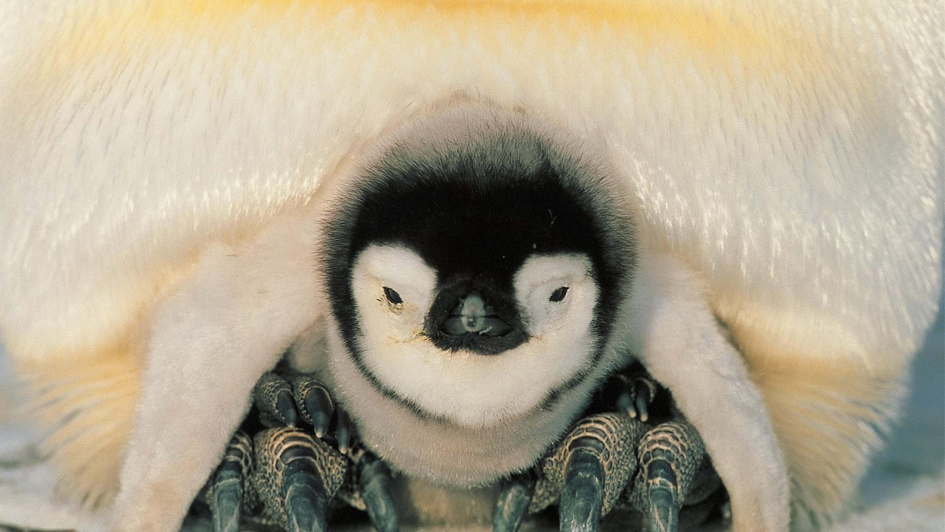 penguins north penguin chick 4k 1542241620 - penguins, north, penguin, chick 4k - Penguins, Penguin, North