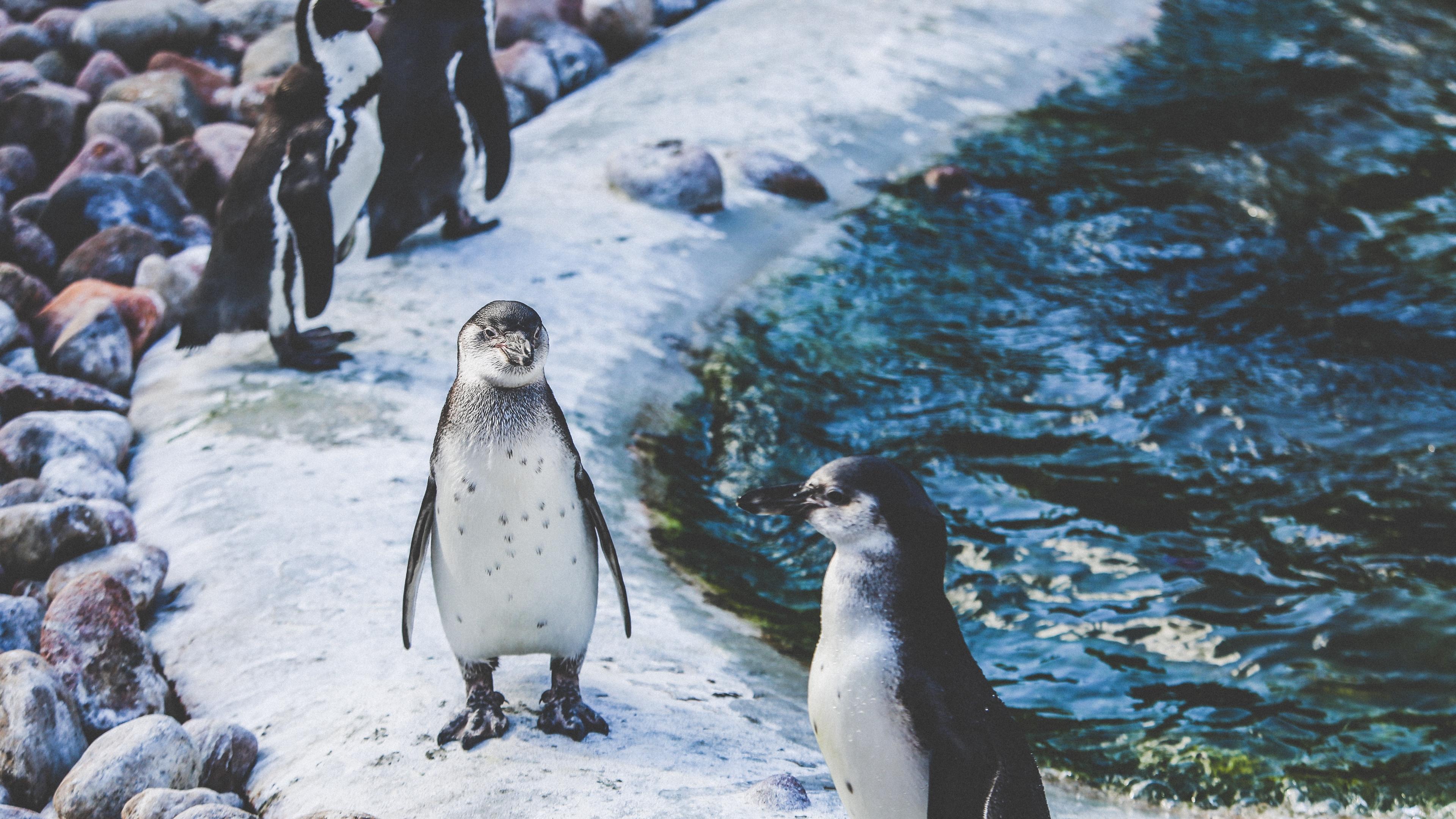 penguins shore birds 4k 1542242613 - penguins, shore, birds 4k - Shore, Penguins, Birds