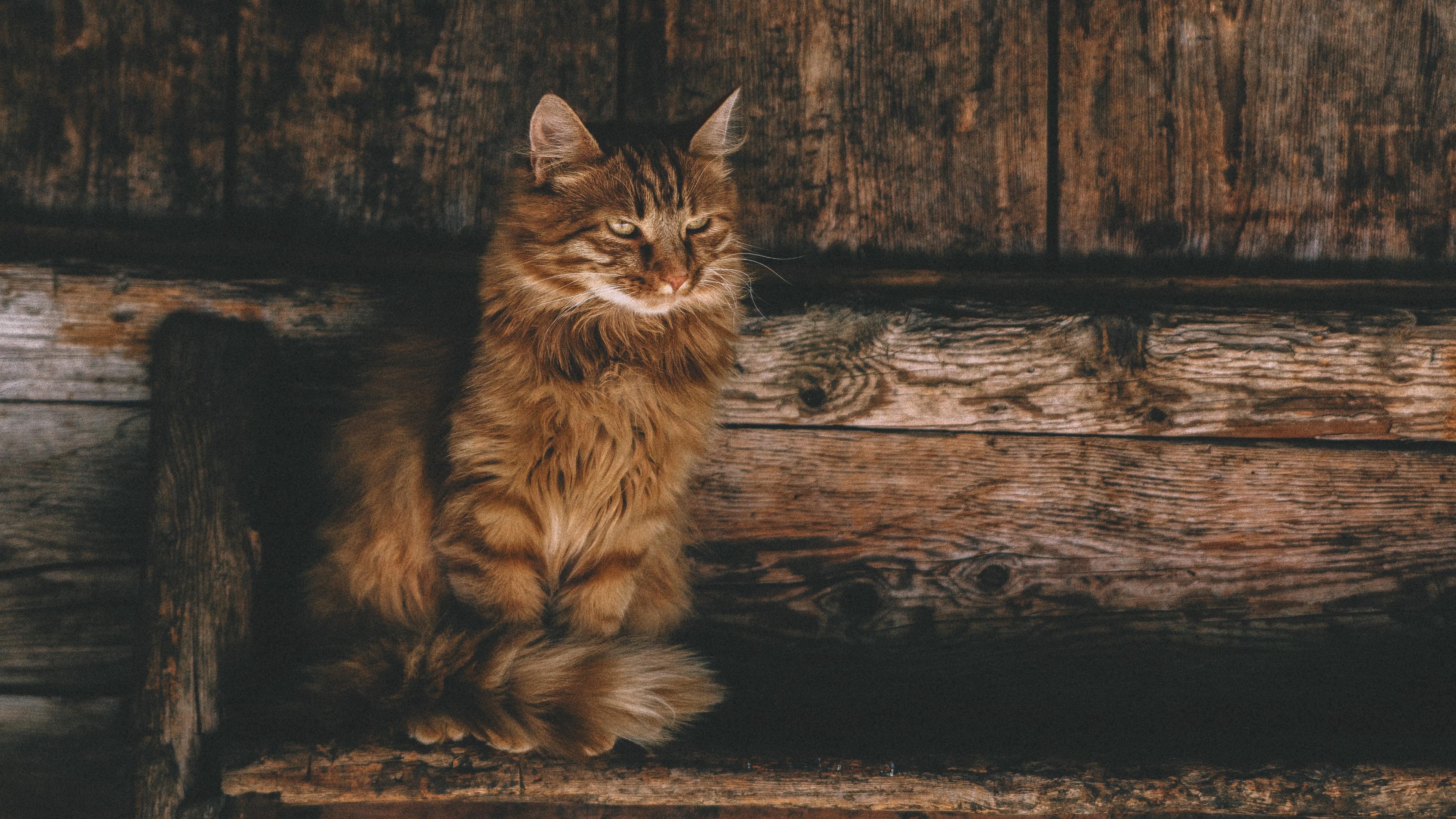 persian cat 4k 1542239640 - Persian Cat 4k - persian cat wallpapers, hd-wallpapers, cat wallpapers, animals wallpapers, 4k-wallpapers