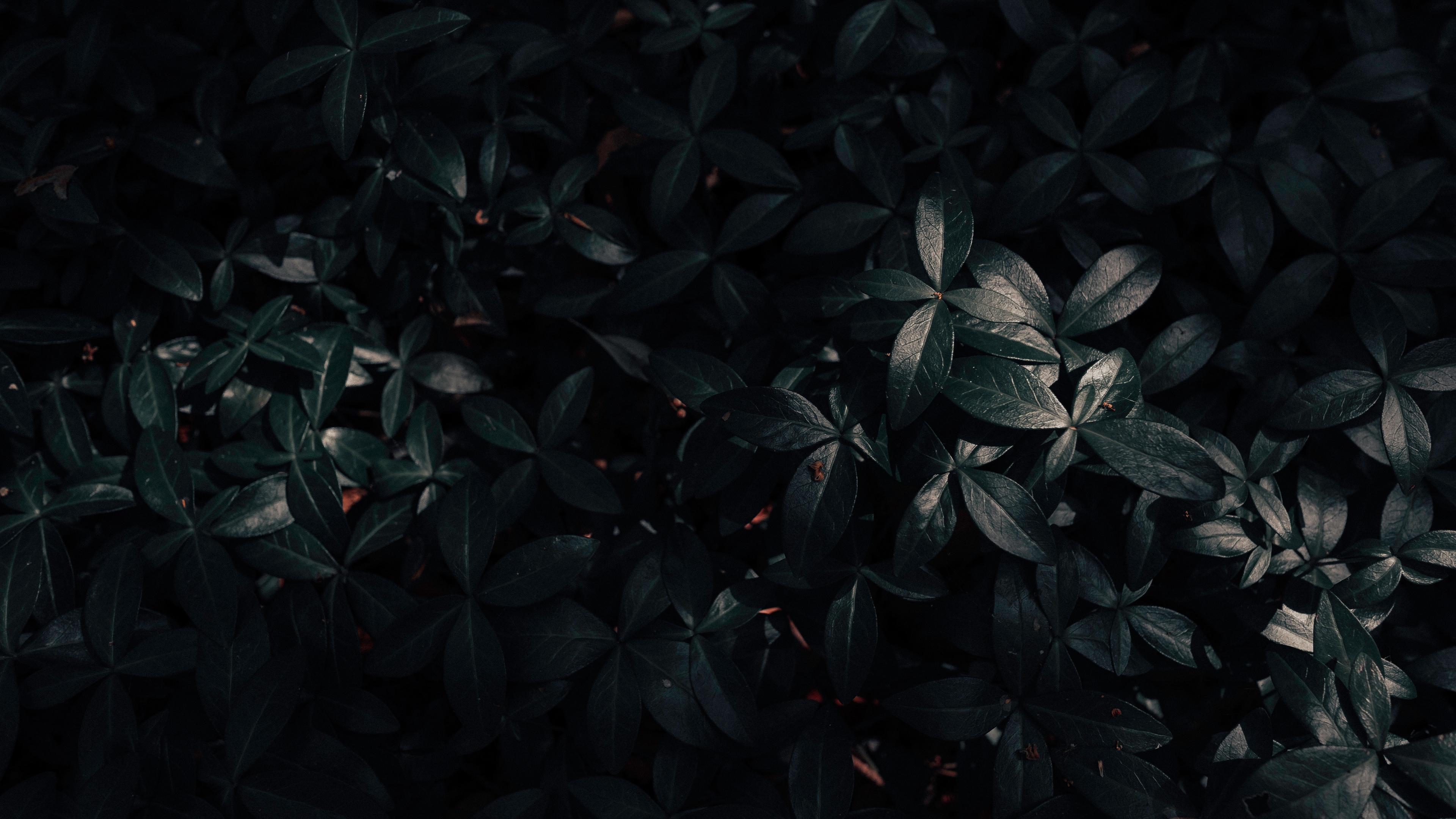 plant leaves dark 4k 1541117135 - plant, leaves, dark 4k - Plant, Leaves, Dark
