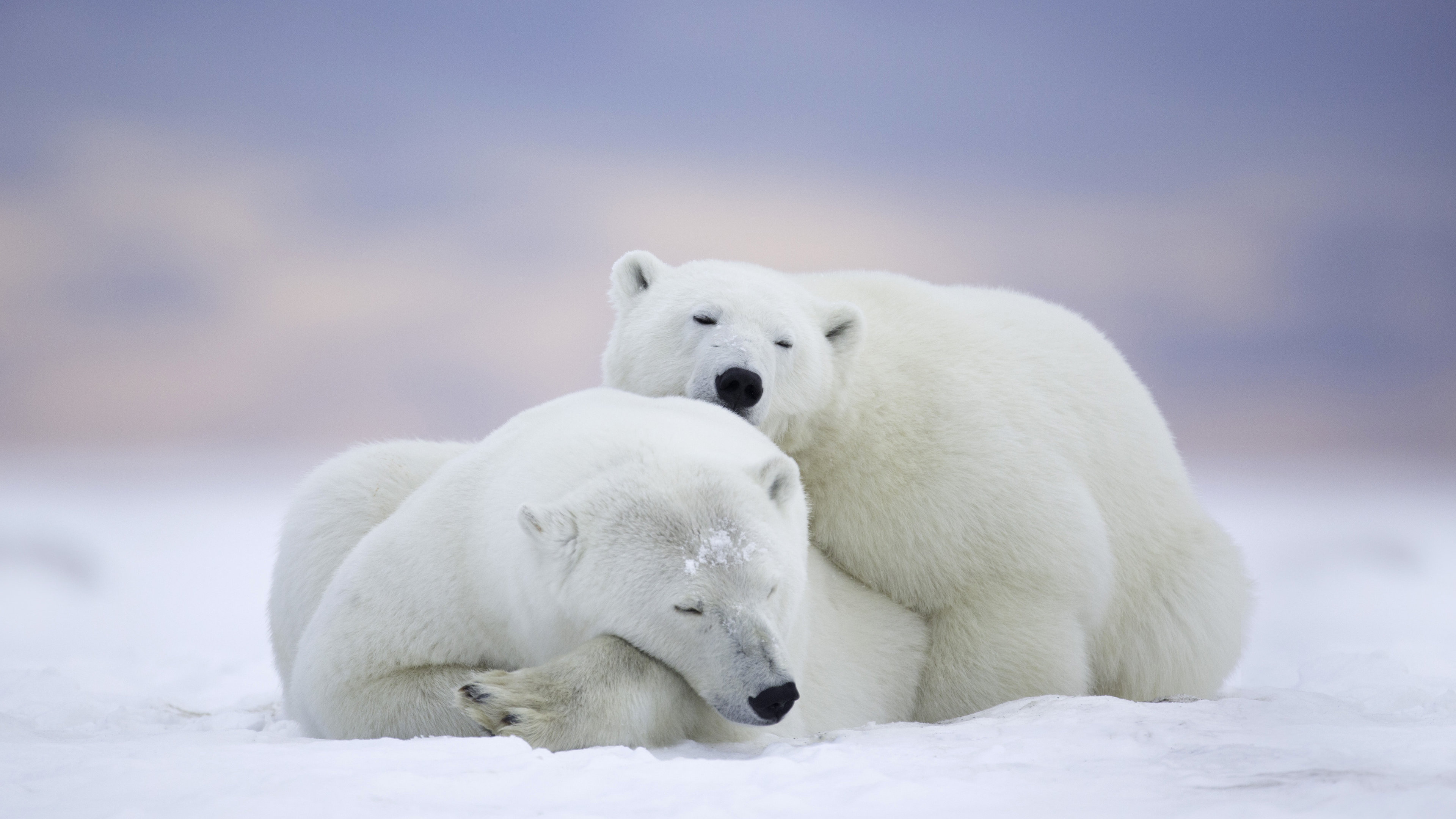 polar bears cold snow 1542238784 - Polar Bears Cold Snow - polar bear wallpapers, hd-wallpapers, cute wallpapers, cold wallpapers, animals wallpapers, 4k-wallpapers